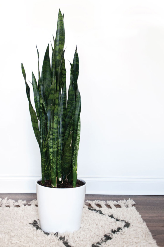 oversized potted snake plants for living room idea   Room For Tuesday   At Home In Love