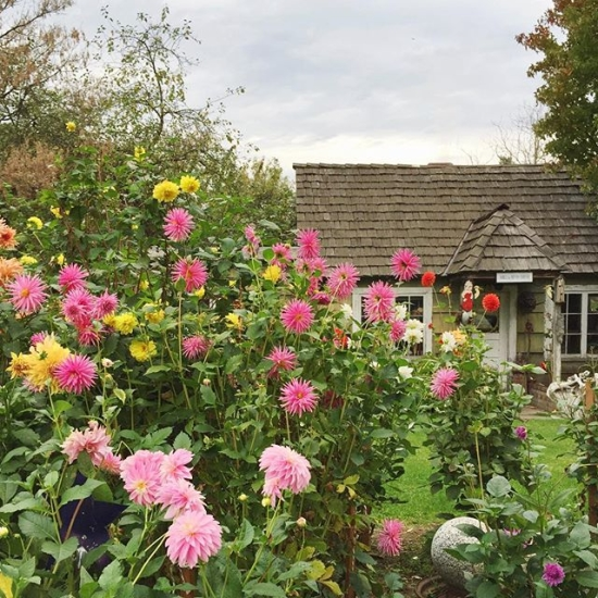 Cottage with garden of dahlias