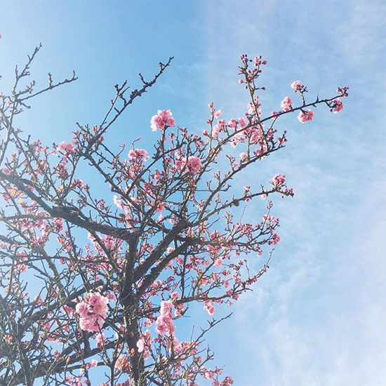 Cherry trees blossoming!