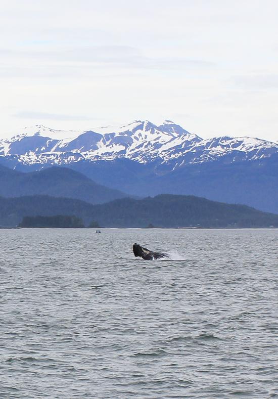 Humpback whale watching in Juneau, Alaska